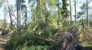 Akcja ratowania 300-letniego cisa / lasy.gov.pl