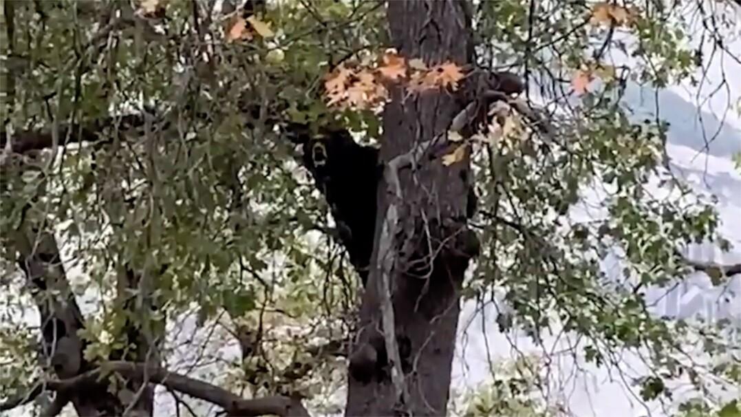 Wokalny pokaz niedźwiedzia. Wydawał z siebie zaskakujące dźwięki