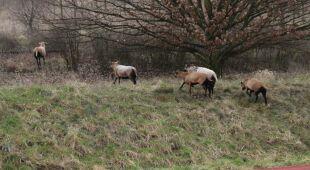 Po Gryfinie i okolicach biegają barany i owce (www.igryfino.pl)