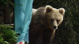 Od zmierzchu do świtu wędrują po Tatrach niedźwiedzie. Lepiej im nie stanąć na drodze