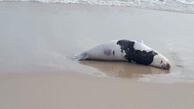 Kolejna martwa foka na plaży Bałtyku