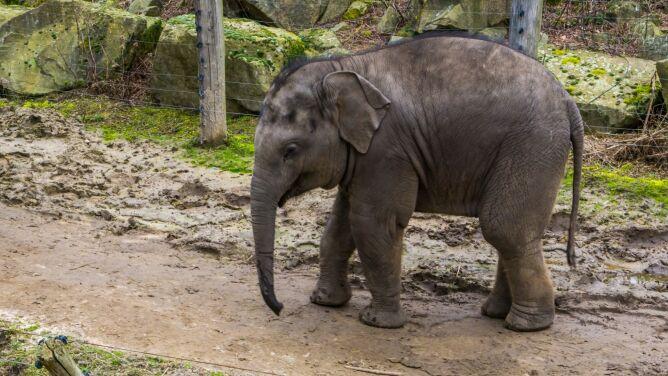 Dwa młode słonie padły w ciągu tygodnia. Przyczyną mogła być opryszczka