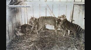 Archiwalne zdjęcia wilkoworów tasmańskich